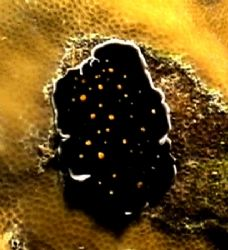 Black spotted nudi. Sony hc 350p by Marylin Batt